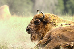 European bison close up Stock Photos