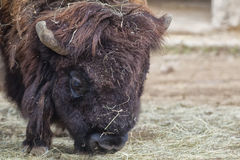 European bison Stock Photos