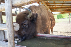 European bison drinking water Royalty Free Stock Image