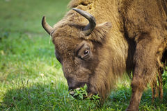 European bison eating grass in the meadow Stock Photography