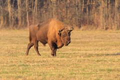 European bison. In the forest. Bucsani Romania Royalty Free Stock Images