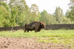 European bison. In the nature Stock Images