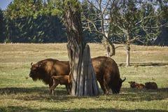 European bison family Stock Image