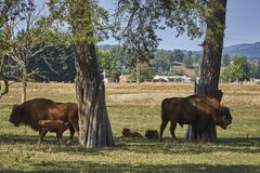 European bison family Stock Images