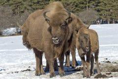 European bison family on snow Royalty Free Stock Photo