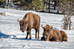 European bison family on snow Stock Images