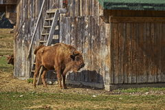 European bison female and her calf Royalty Free Stock Images