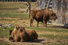 European bison females and calves Stock Image