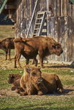 European bison females and calves Stock Image