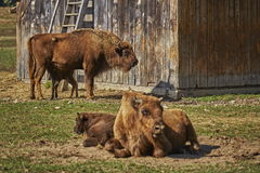 European bison females and calves Royalty Free Stock Photography