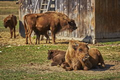 European bison females and calves Stock Photo