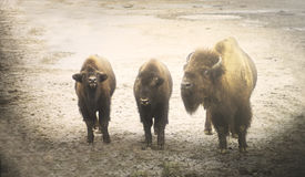 European bison  - femle adult with youngsters Stock Photos