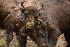 European bison fight for territories in Tarcu Mountains. Royalty Free Stock Images
