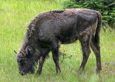 European bison Royalty Free Stock Images