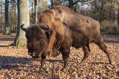 European bison Royalty Free Stock Photo