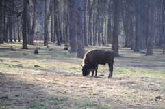 European bison in the forest Royalty Free Stock Image