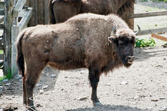 European bison in forest park Stock Image