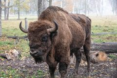 European bison in a forest reserve stock photo