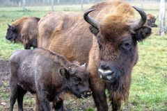 European bison in a forest reserve royalty free stock photos