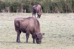 European bison. European bison on grass field Stock Photo