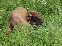 The European bison grazes on a green field with tall grass stock image