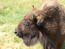 European bison - head Royalty Free Stock Photos