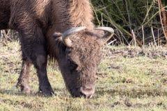 European bison. European bison head drinking water Stock Photo