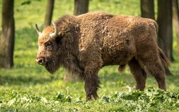 The European bison, also known as wisent or the European wood bison. The European bison is the heaviest surviving wild land animal in Europe; a typical European Royalty Free Stock Photo