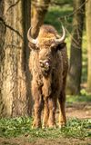 The European bison, also known as wisent or the European wood bison. The European bison is the heaviest surviving wild land animal in Europe; a typical European Stock Images
