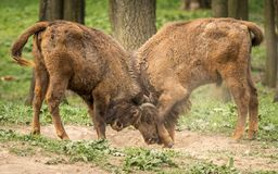 The European bison, also known as wisent or the European wood bison. The European bison is the heaviest surviving wild land animal in Europe; a typical European Royalty Free Stock Images