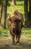 The European bison, also known as wisent or the European wood bison. The European bison is the heaviest surviving wild land animal in Europe; a typical European Stock Photography