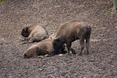 European bison herd resting in forest mud Royalty Free Stock Photography