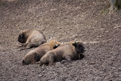 European bison herd resting in forest mud Royalty Free Stock Photos