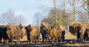 European Bison herd in winter. European Bison herd in snowless winter time against pine trees in sunset light Stock Photo