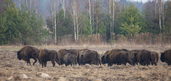 European Bison hurd in winter Stock Images