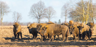 European Bison hurd in winter Royalty Free Stock Photos