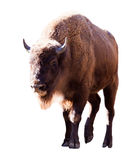 European bison. Isolated over white Royalty Free Stock Photo