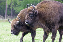 European Bison - living in the wild in Poland Stock Image