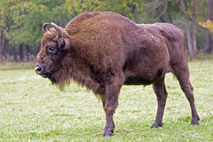 European Bison - living in the wild in Poland Royalty Free Stock Photography