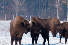European Bison looking to Calves Royalty Free Stock Image