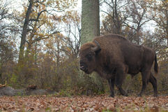 European Bison Male Stock Photography