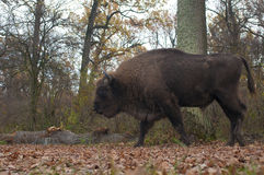 European Bison Male Stock Photos
