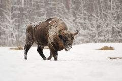 European bison male in winter forest Stock Images