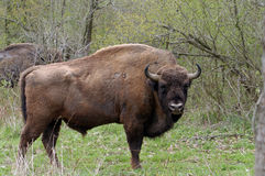 European bison Stock Photography