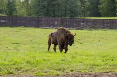 European bison. In the nature Stock Photography
