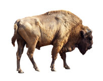 European bison over white Stock Photos