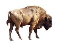 Free European Bison Over White Stock Photos - 27900723