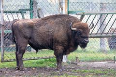 European bison in the paddock in the forest reserve royalty free stock photos