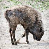 European bison paws the ground Royalty Free Stock Image