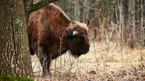 European bison. Photographed in winter in a Polish forest Royalty Free Stock Photos
